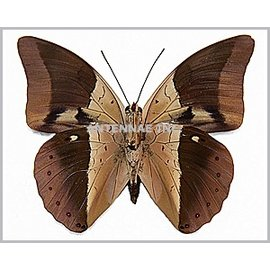 Nymphalidae Prepona (Archeoprepona) amphimachus symaithus M A1 Peru