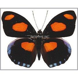 Nymphalidae Catonephele numilia F A1 Peru