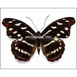 Nymphalidae Catonephele acontius acontius F A1 Bolivia