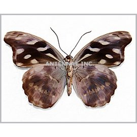 Nymphalidae Catonephele acontius acontius F A1 Peru