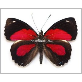 Nymphalidae Paulogramma peristera peristera M A1 Peru