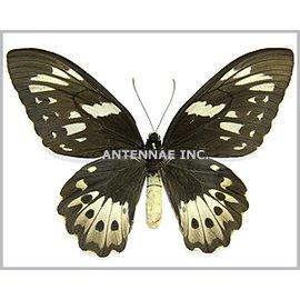 Ornithoptera and Trogonoptera Ornithoptera priamus poseidon F A1 PNG