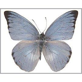 Butterflies Appias paulina ega / Appias celestina celestina MIX - 10MF - A1 Indonesia