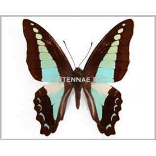 Butterflies Graphium milon / G. sarpedon anthedon / G. euryplus euryplus MIX - 50M - A1 Indonesia