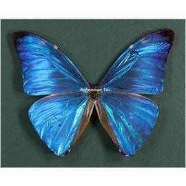 Butterflies Morpho adonis adonis - 3M - A1 Guyana