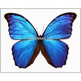 Butterflies Morpho menelaus alexandrovana - 3M - A1 Peru