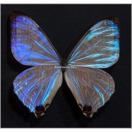 Butterflies Morpho sulkowskyi selenaris - 3M - A1 Peru