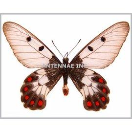 Satyridae Cressida cressida insularis M A1 Indonesia