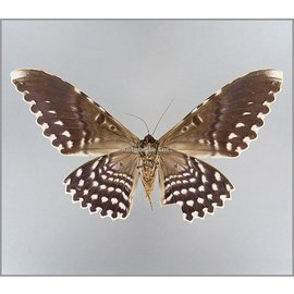 Noctuidae Thysania agrippina M A1 Peru