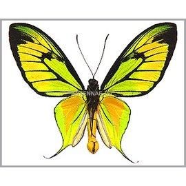 Ornithoptera and Trogonoptera Ornithoptera paradisea occidentalis M A1 Indonesia