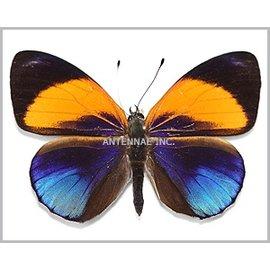 Nymphalidae Asterope hewitsoni hewitsoni M A1 Peru