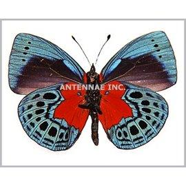 Nymphalidae Asterope leprieuri optima M A1 Peru