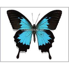 Papilionidae Papilio ulysses dohertius M A1 Indonesia