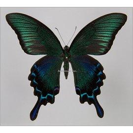 Papilionidae Papilio bianor coreanus M A1 South Korea