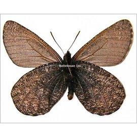Satyridae Oeneis melissa beanii PAIR A1 Canada