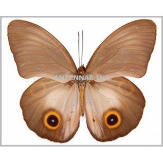 Amathusidae Hyantis / Taenaris MIX M A1 Indonesia