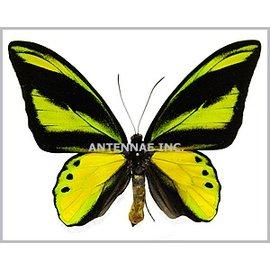 Ornithoptera and Trogonoptera Ornithoptera chimaera chimaera PAIR A1 PNG