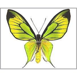 Ornithoptera and Trogonoptera Ornithoptera paradisea borchi PAIR A1 Indonesia