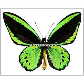 Ornithoptera and Trogonoptera Ornithoptera priamus priamus PAIR A1 Indonesia