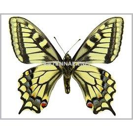 Papilionidae Papilio aliaska (machaon aliaska) M A1- Canada