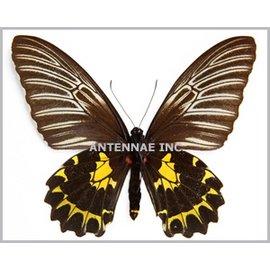 Troides Troides prattorum F A1- Indonesia