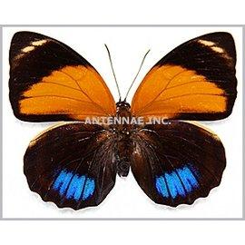 Nymphalidae Agrias amydon boliviensis F A1 Bolivia