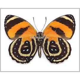 Nymphalidae Callicore cynosura M A1 Bolivia