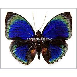 Nymphalidae Agrias beatifica stuarti f. micaela M A1 Peru