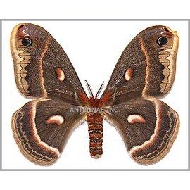 Saturnidae Hylophora cecropia M A1 Canada
