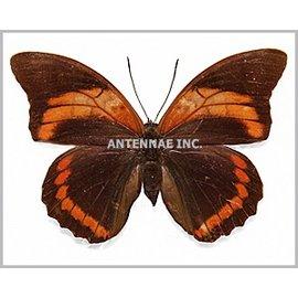 Nymphalidae Prepona (Archeoprepona) praeneste buckleyana f. nitra F A1 Bolivia