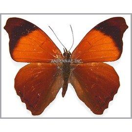 Nymphalidae Temenis lathoe lathoe M A1 Peru