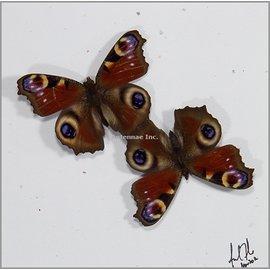 Nymphalidae Inachis io M A1 Belgium