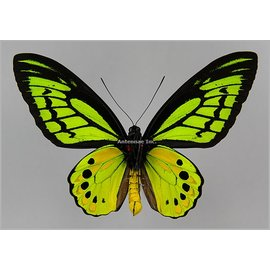 Ornithoptera and Trogonoptera Ornithoptera akakeae akakeae M A1 Indonesia SPREAD SPECIMEN