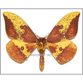 Saturnidae Eacles imperialis imperialis M A1 USA