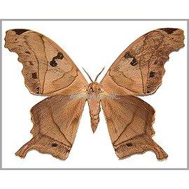Saturnidae Titea tamerland amazoniensis M A1 Bolivia