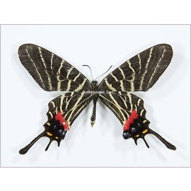 Papilionidae Bhutanitis thaidina thaidina M A1 China