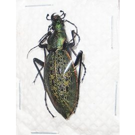 Carabidae Damaster smaragdinus sangjaei M A1 South Korea