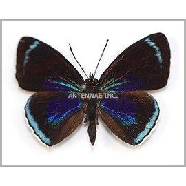 Nymphalidae Catacore kolyma f. kolyma / f. connector / f. pasithea MIX M A1 Peru