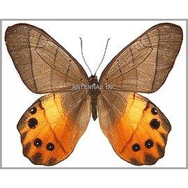 Satyridae Pierella hyceta PAIR A1 Peru