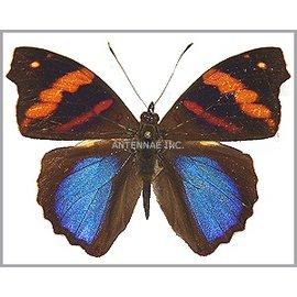 Nymphalidae Epiphile orea negrina M A1 Peru