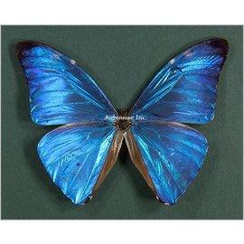 Morphidae Morpho adonis adonis M A1 Guyana