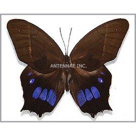 Satyridae Antirrhea philoctetes M A1 Peru