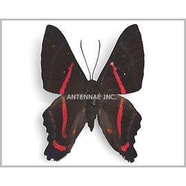 Riodinidae Ancyluris meliboeus / A. aulestes aulestes / A. etias / A. tedea tedea / A. eudaemon / A. mascar MIX M A1 Peru