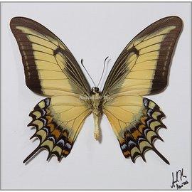 Papilionidae Papilio androgeus M A1 Peru