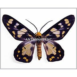 Geometridae Dysphania numana ssp? M A1 Indonesia