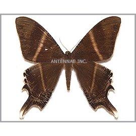 Noctuidae Nyctalaemon patroclus M A1 Indonesia
