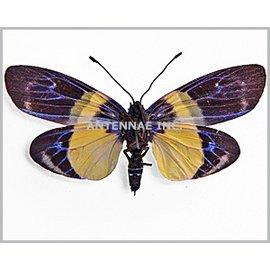 Zygaenidae Eterusia risa javanica F A1 Indonesia