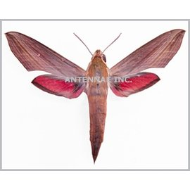 Sphingidae Hippotion eson M A1 Cameroon