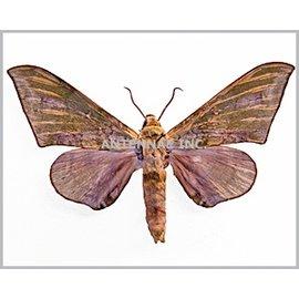 Sphingidae Chloroclanis virenscens virenscens M A1/A1- Cameroon