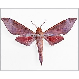 Sphingidae Phylloxiphia bicolor M A1 Cameroon